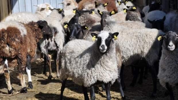 В Республике Алтай чабан увёл у фермера 15 овец и съел их