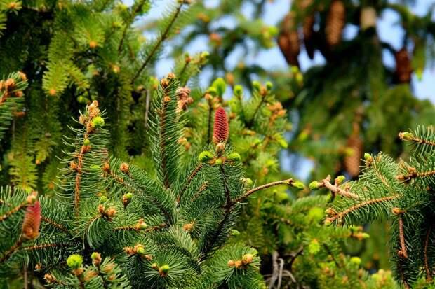 Полмиллиона сеянцев ели и сосны высадили в Удмуртии