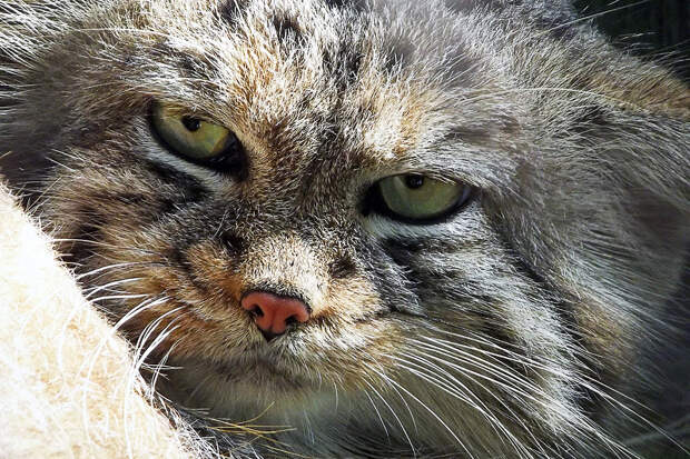 Логово манула с котятами сняли на видео в Горном Алтае