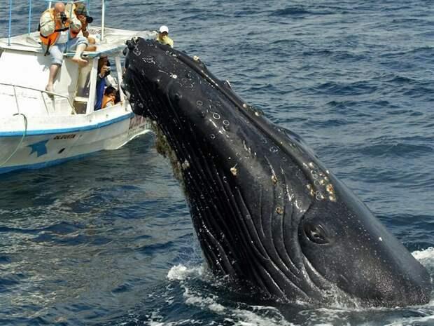 Синий кит. В момент редкого подъема на поверхность.