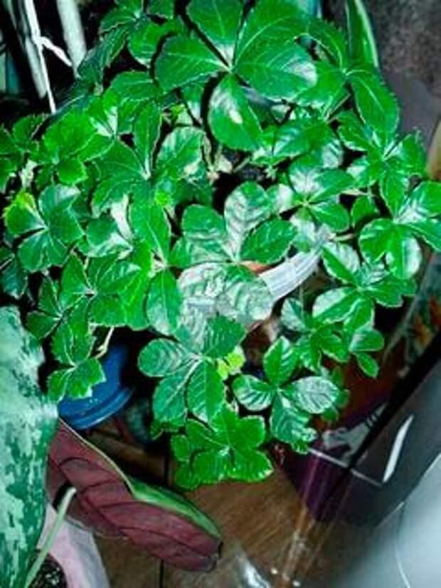 Комнатное растение Партеноциссус (Parthenocissus)