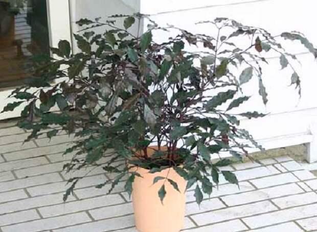 Комнатное растение Лея (Leea)