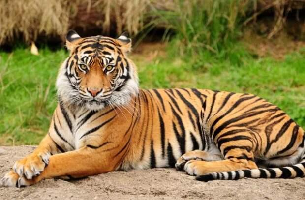 В Техасе по улицам разгуливает тигр. Полиция его ищет
