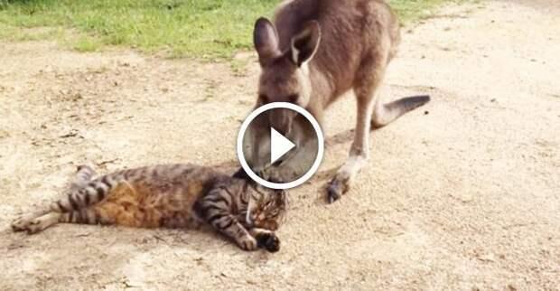 Кенгуренок просит прощенье у кошки