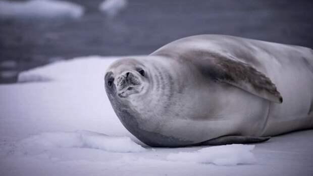 Ездовых собак хаски надо было кормить свежим тюленьим мясом, ни на что другое они не соглашались