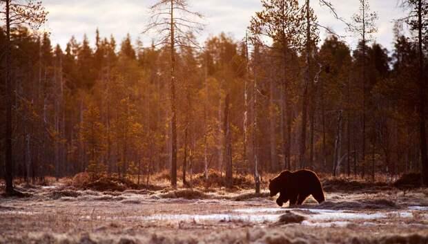 Спячка медведя зимой