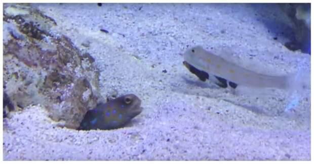Пакостливая рыба мешает другой рыбе вырыть укрытие в мире, видео, животные, интересное, подводный мир, прикол, рыбы