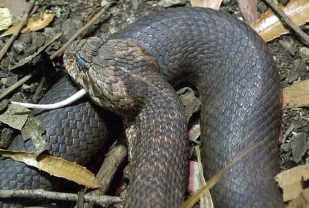 9. Шипохвост Австралийский   змеи, самые ядовитые, топ, топ-10