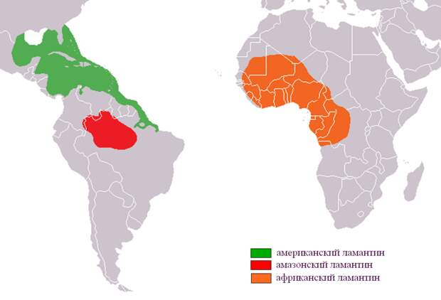 Ламантины — ближайшие родственники слонов