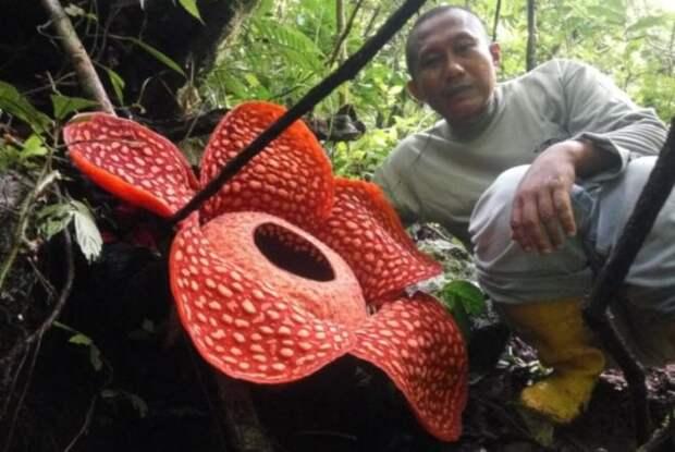 В Индонезии нашли гигантский цветок