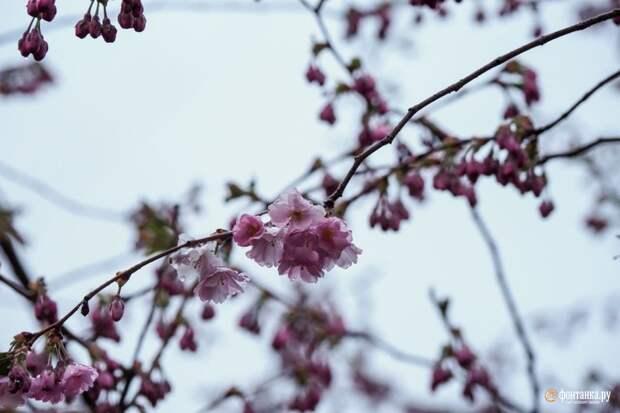 Сморите, как под майским дождём в Петербурге цветёт сакура