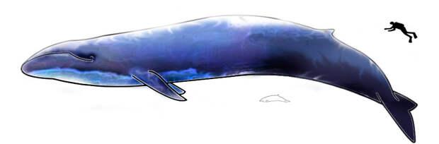 Рисунок синего кита в сравнении с ныряльщиком