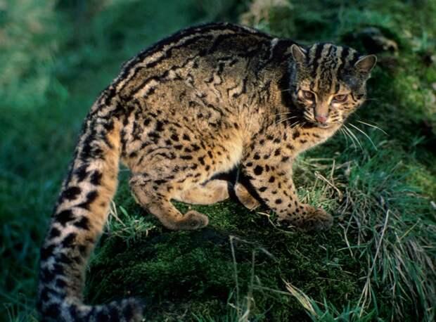 Мраморная кошка дикие кошки, животные, кошки, природа