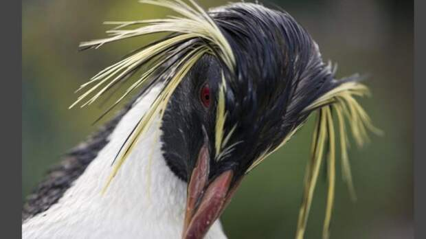 Чубатий пінгвін