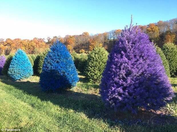 На американской ферме продают разноцветные рождественские ёлки trendy, креатив, новый год, рождество, сша, ферма, фото, ёлки