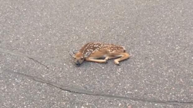 Мужчина заметил лежащего на дороге оленёнка и они с другом развернули настоящую спасательную операцию