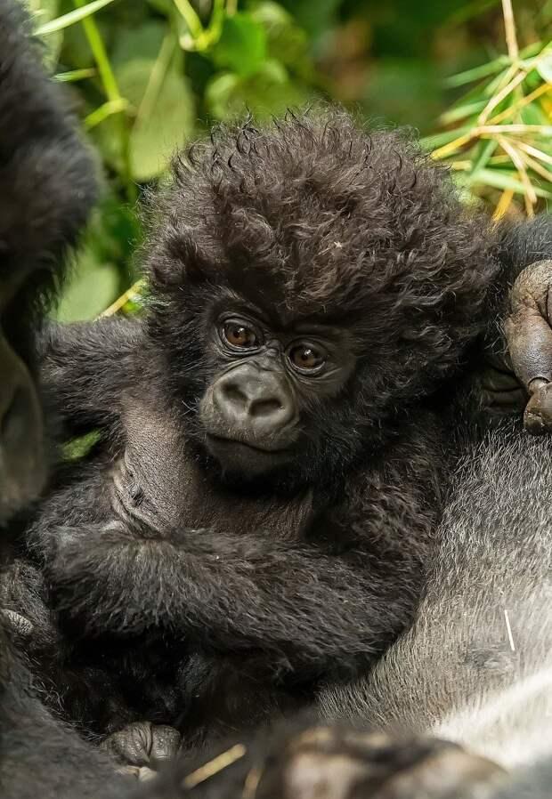 Детёныш гориллы с необычной прической влюбил в себя весь интернет