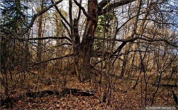 старое дерево в лесу поздней осенью в ноябре