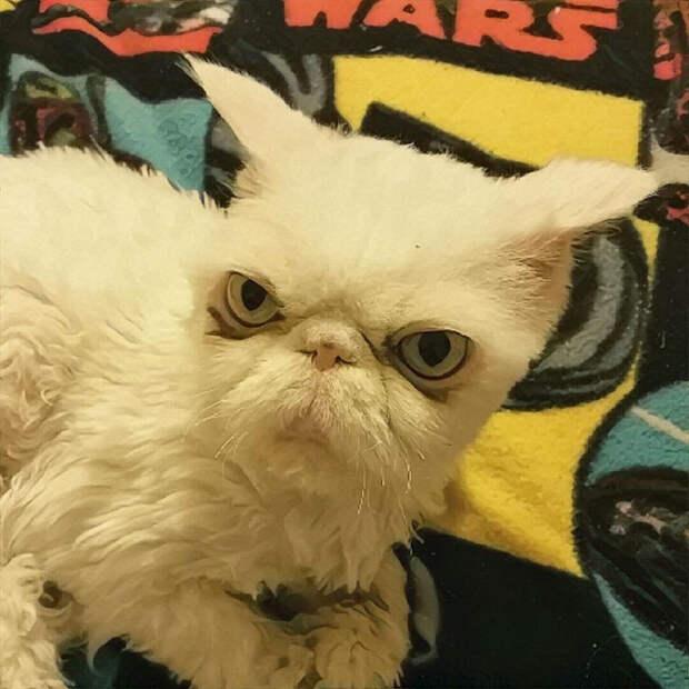 Из-за свалявшейся шерсти и ее тяжести кот практически не передвигался, поэтому его задние лапы атрофировались   кот, преображение, стрижка, шерсть