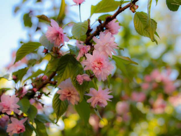 Ботанический сад ищет волонтеров пресекать эротические съемки возле сакуры