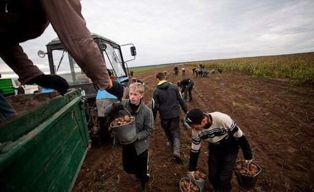 И мы так работали, каждую осень. После уроков (1-2 последних урока могли отменить) собирались у школы, грузились в автобус и ехали на поле. Фото с Яндекс.Картинки.