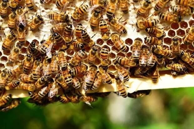 Для экспорта в два раза готовы увеличить производство меда пчеловоды Приморья