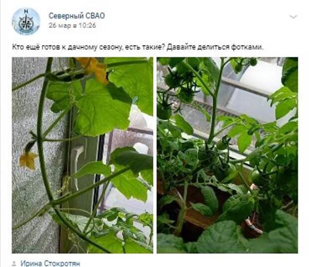 «Автор» супердлинных огурцов из Северного готовится растить новый урожай