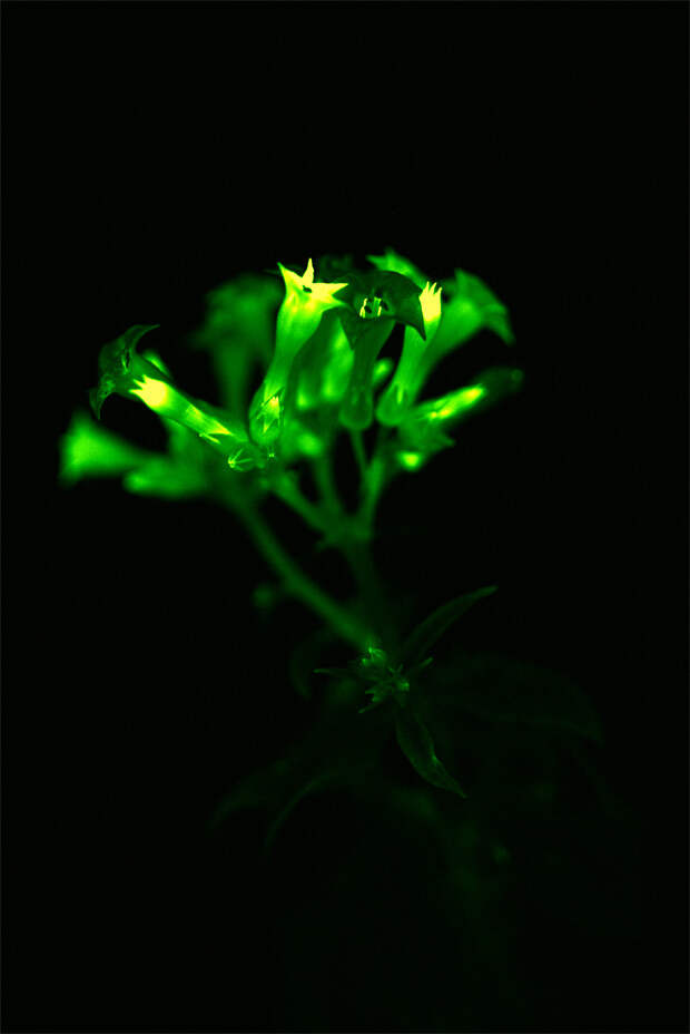5 волшебных фото биолюминесцентного табака, который создали российские ученые