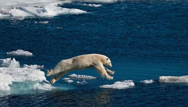 Белый медведь - удивительное животное