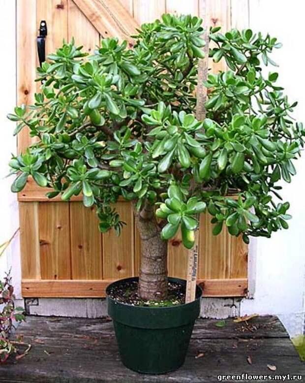 Денежное дерево (толстянка): привлекаем богатство