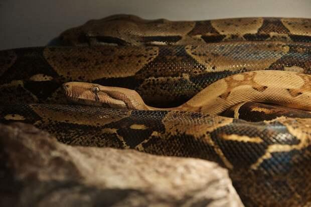 Тем, кто хочет змею, лучше обратиться к профессионалу Фото: Светлана МАКОВЕЕВА