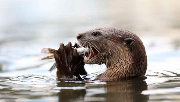 Выдра ест не только рыбу