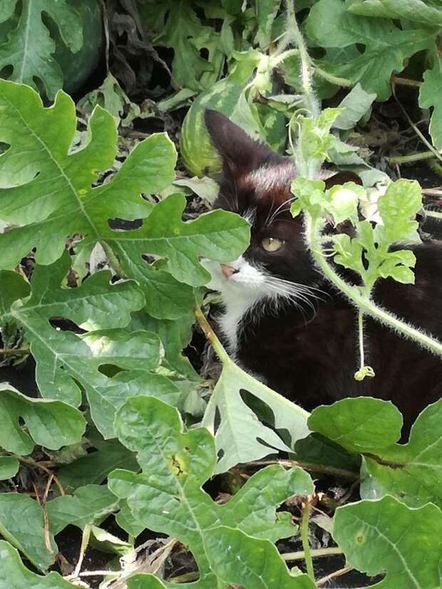Постоянный житель бахчи, котенок Тимоша)) Сторож и друг. еда, коты, своими руками
