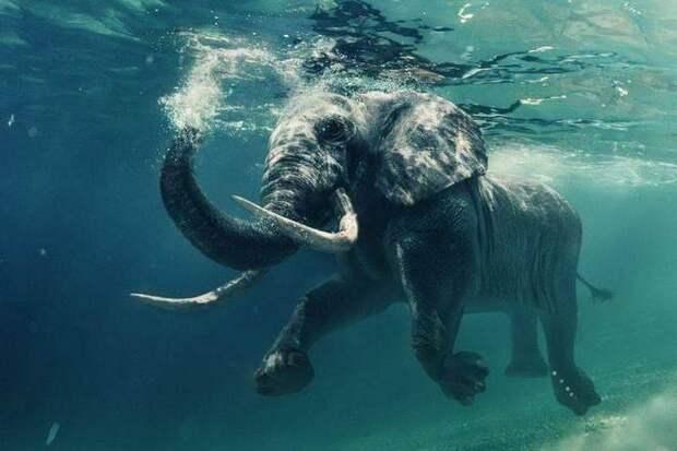Могут ли слоны плавать?