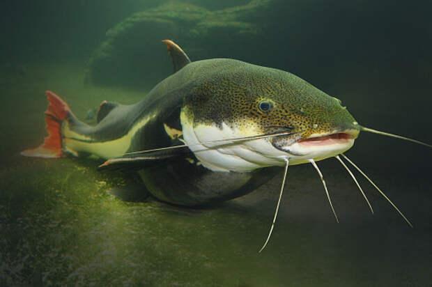 Рыбаки заметили в Яузе рыбу семейства сомовых