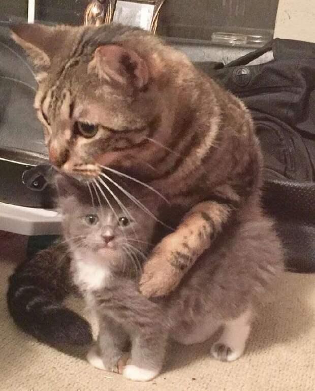 Этот кот поддерживает маленького котёнка-сироту и приучает его обниматься целыми днями напролёт!