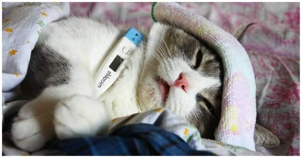 Кальцивироз у кошек – это не приговор! Симптомы, лечение, реабилитация
