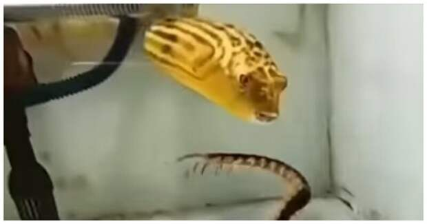 Иглобрюх способен съесть всё, что тебя пугает видео, животные, иглобрюх, рыба, тетраодон, удивителньо
