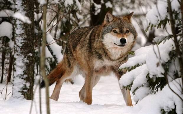 Волк спас провалившихся под лед детей