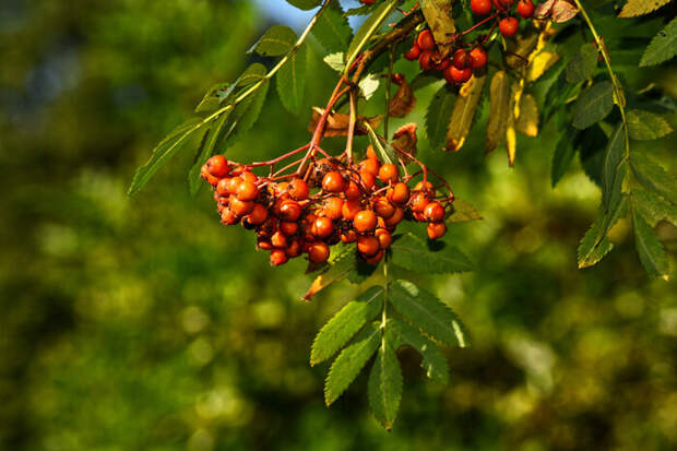 Особенности выращивание рябины из семян в домашних условиях
