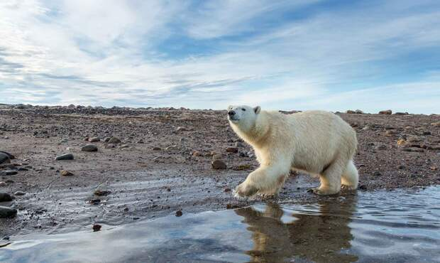 Белый медведь занесен в Красную книгу