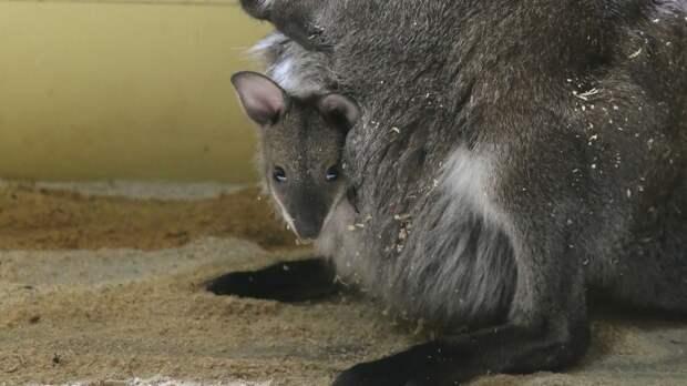 Взоопарке Белгорода случился беби-бум кенгуру