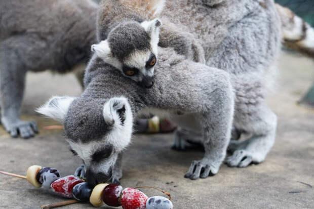 Редкий кошачий лемур родился в Московском зоопарке