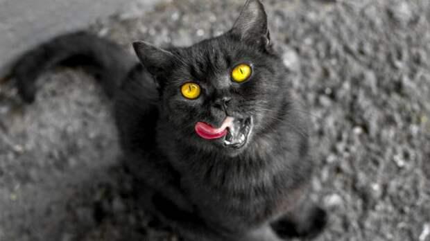 Черная кошка облизывается