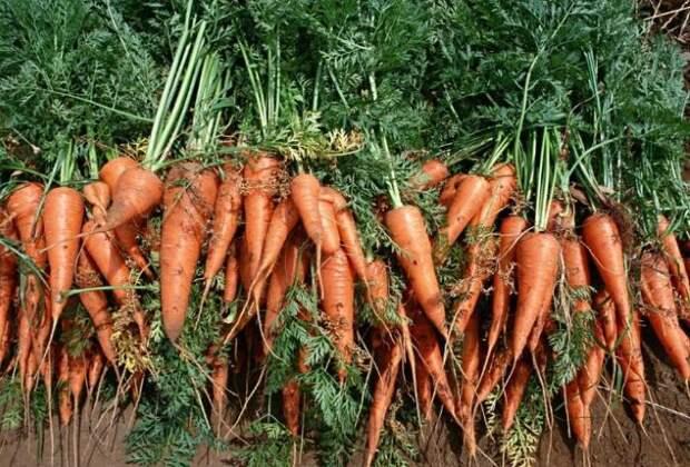 14 советов по морковному урожаю