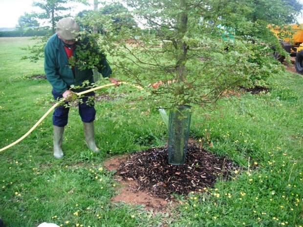Полив крупномерного дерева