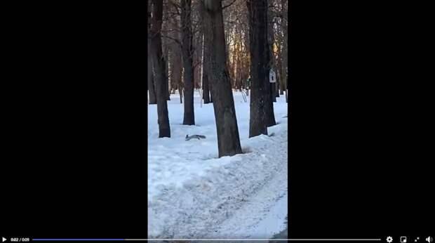 По веткам деревьев в Лефортовском парке снова  запрыгали белки