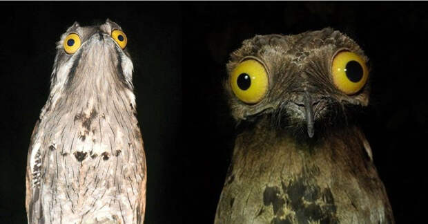 Венесуэльские птички поту — очень забавные пернатые