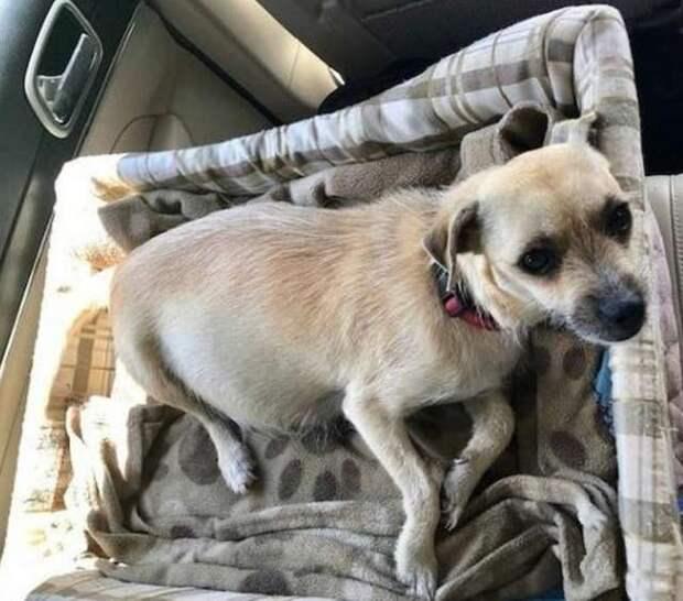 Беременная собака, спасенная от усыпления, на радостях родила прямо в машине история, история спасения, мило, помощь животным, собака, собаки, спасение животных