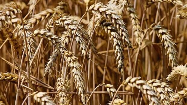 Закупочная стоимость российской пшеницы выросла в начале мая